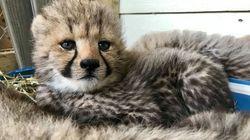 Quatre nouveaux irrésistibles bébés guépards au Parc