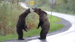 Ces images d'un combat de grizzlys vont vous