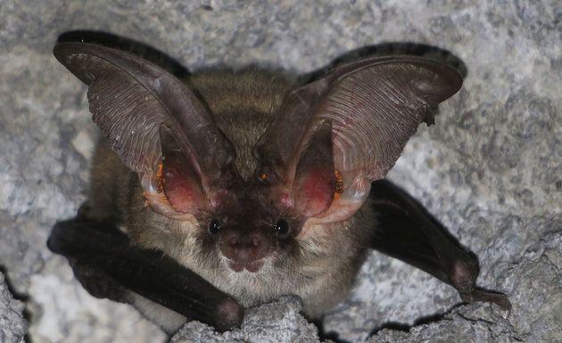 ΗμεσογειακήΩτονυχτερίδα(Plecotus