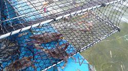 Un risotto au crabe bleu…capturé en