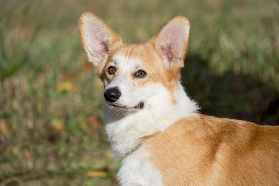 Όταν τα αυτιά «κοιτούν» προς τα πάνω, το σκυλί σας είναι σε υπερένταση και εγρήγορση.