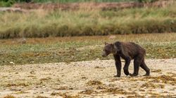 Emaciated Grizzly Bears Are Heartbreaking Victims Of Climate