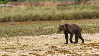 Starving grizzlies in British Columbia