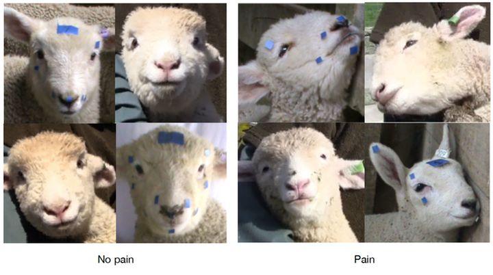 """<i>Se ha demostrado que los corderos son unos de los animales que hacen muecas cuando sienten dolor.&nbsp;<a href=""""https://doi.org/10.1016/j.beproc.2016.09.010"""" rel=""""nofollow"""" data-ylk=""""subsec:paragraph;itc:0;cpos:17;pos:2;elm:context_link"""" data-rapid_p=""""9"""" data-v9y=""""1"""">(Mirjam Guesgen)</a>, Author provided</i>"""