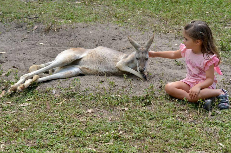 Little girl (age 04) petting an Eastern grey kangaroo female in Gold Coast Queensland,