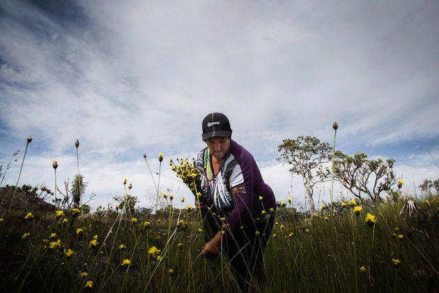 """B., colhendo num canteiro de flores conhecidas como """"Cabeça-de-nego"""", em um campo..."""