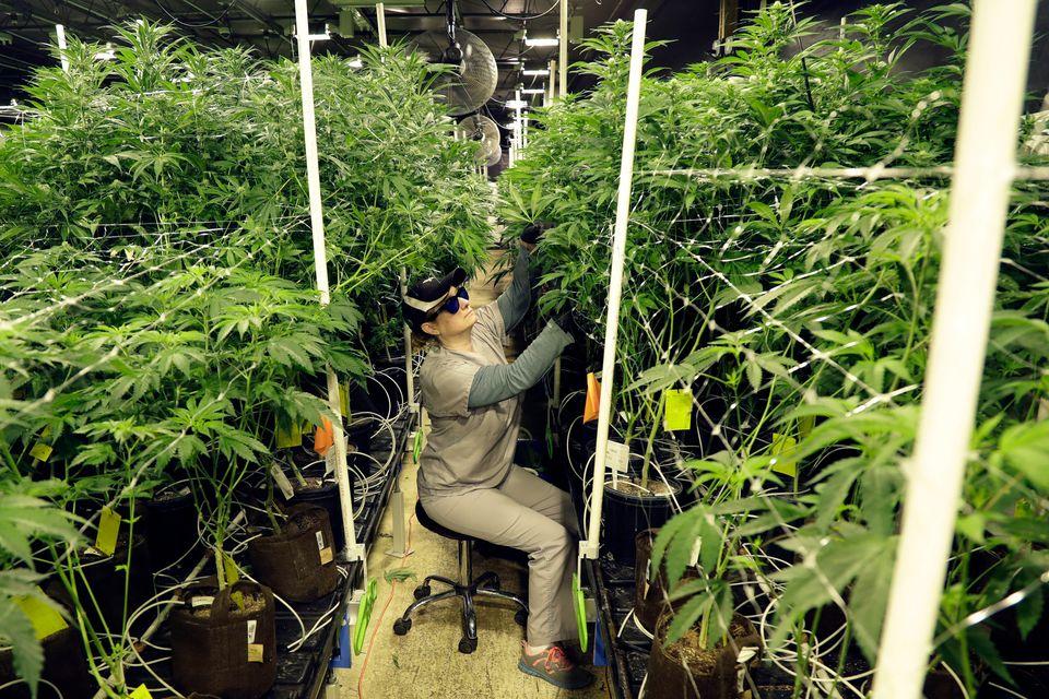 Anvisa propõe que o plantio de Cannabis deve ser restrito a empresas, feito em locais fechados...