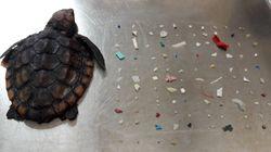 Cette petite tortue est morte avec 104 morceaux de plastique dans