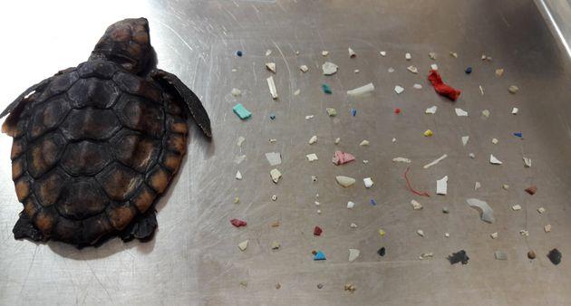 Cette jeune tortue de mer est morte en Floride. 104 morceaux de plastique ont été retrouvés dans son