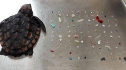 Cette tortue est morte avec 104 morceaux de plastique dans