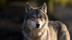 Τι συνέβη στη Νάγια; Ο πρώτος λύκος στο Βέλγιο μετά από 100 χρόνια σκοτώθηκε από