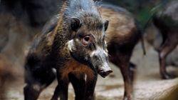 Γουρούνια παρατηρήθηκαν για πρώτη φορά να χρησιμοποιούν