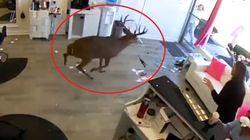Sorpresa dalla parrucchiera: un cervo sfonda la vetrina e semina il panico