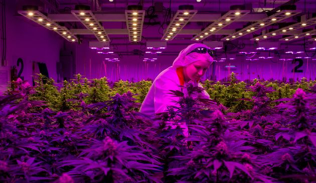 A production team member works in an aquaponics grow operation by licensed marijuana producer Green Relief...