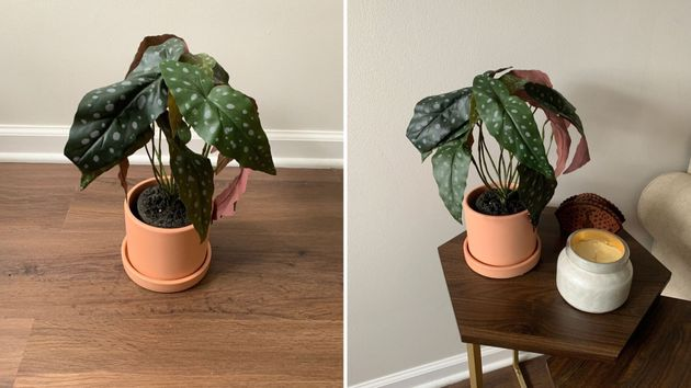 This isanangel wings begoniafromThe Sill's new faux plant