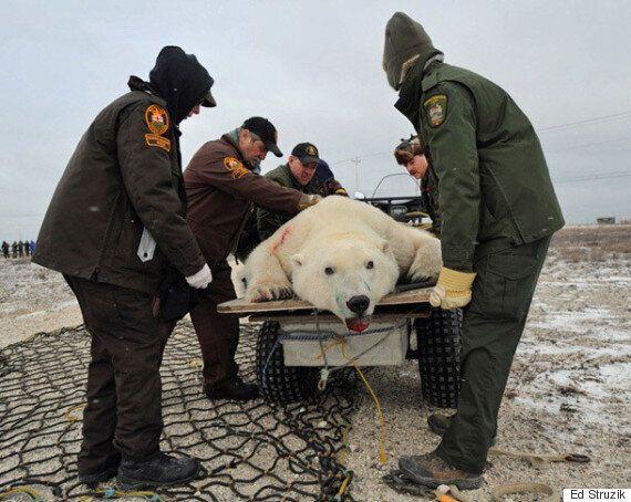 Polar Bear Wrangler Job Getting Harder, Thanks To Climate