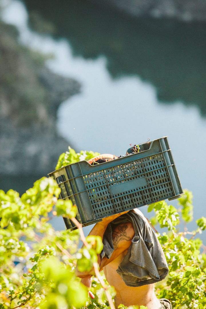Vendimia de la uva en la Ribeira Sacra.