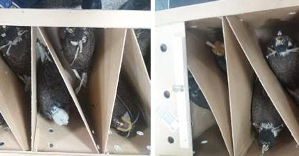 Un ressortissant étranger arrêté à l'aéroport de Casablanca avec 26 faucons vivants