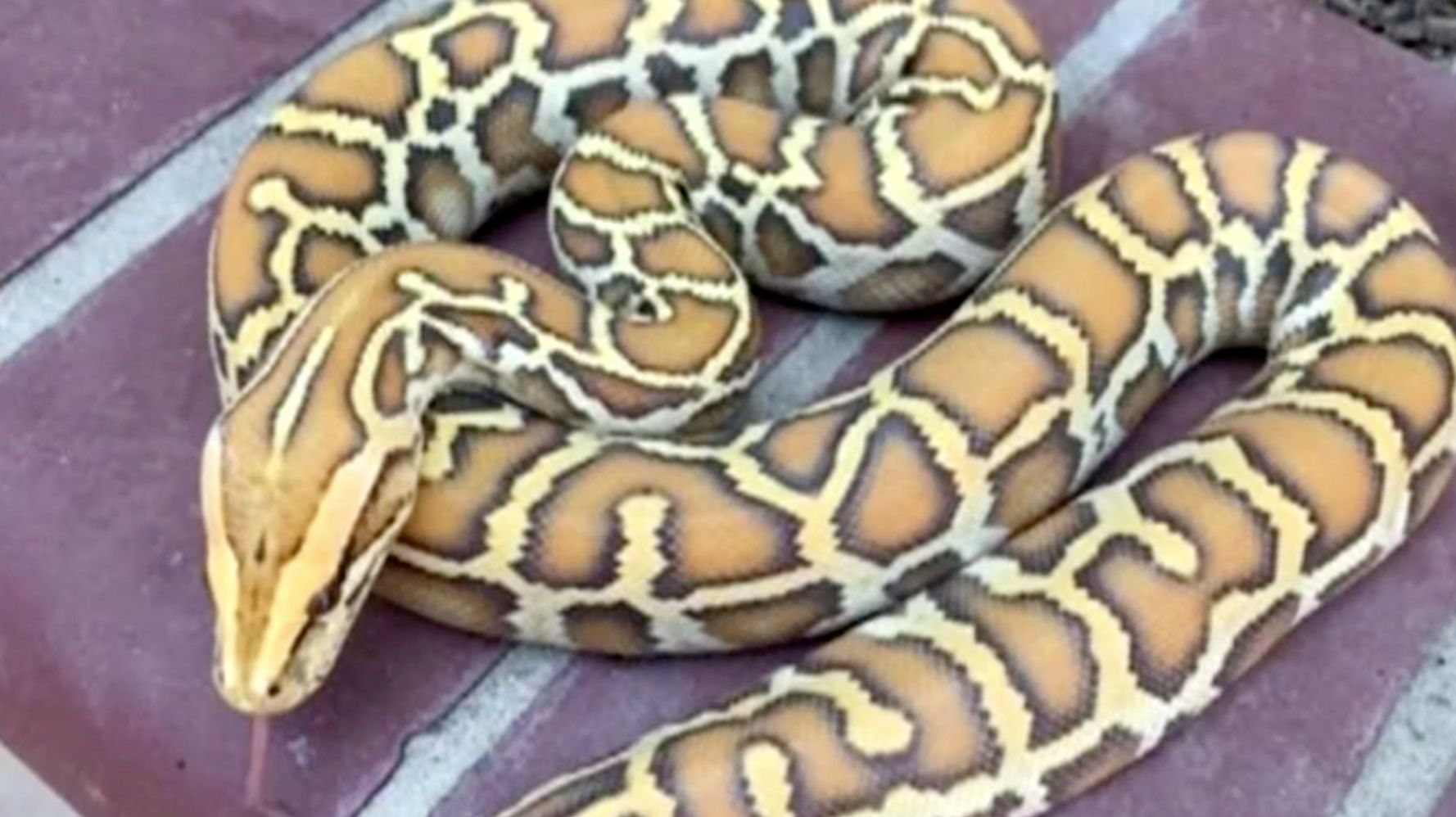 Thieves Steal Duffel Bag Full Of Rare Snakes