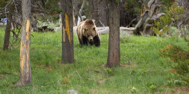 Grizzly bear in Yellowstone National Park . (Photo by: Universal Education/Universal Images Group via...