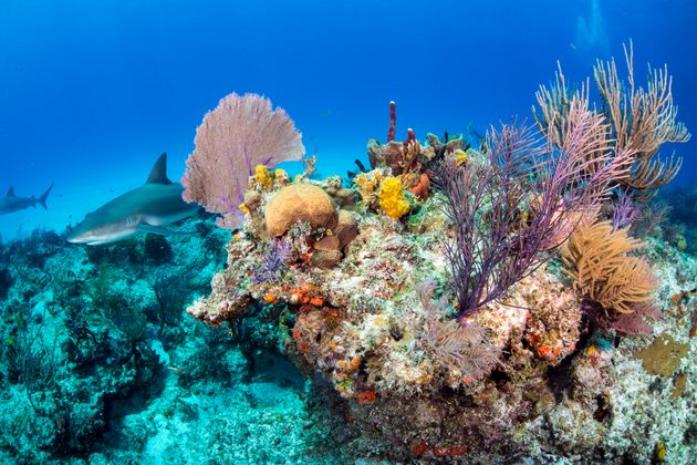 A Caribbean reef shark swims along a reef in the