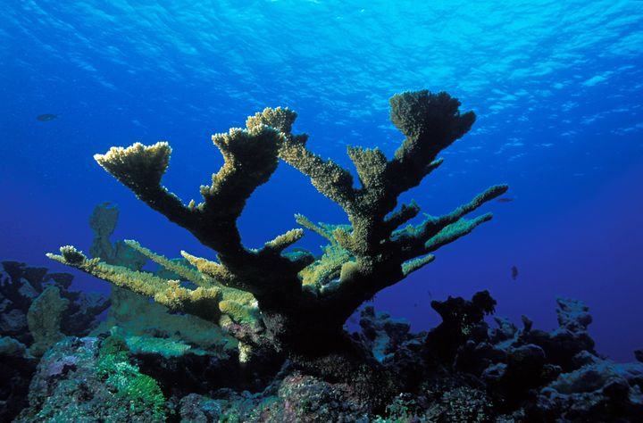 An elkhorn coral in the Bahamas.