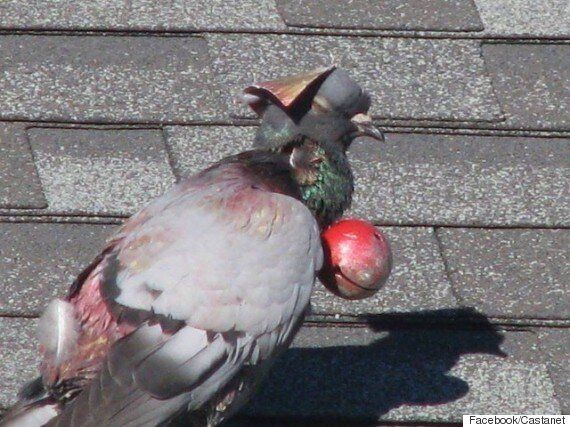 Pigeon Forced To Wear Hat, Bell Sparks Penticton