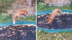 La volpe irrompe in giardino e si diverte sul trampolino elastico dei bambini