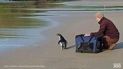 Un pinguino è stato ritrovato in Australia dopo aver percorso più di 2mila km in cerca di