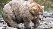 All Hail Holly, No. 1 Chonk Tahun Ini Lemak Beruang Minggu