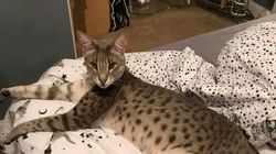 Semi-Wild Savannah Cat Escapes, Goes On The Prowl In UK's