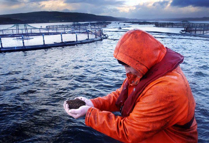 Il mangime dato ai salmoni in un allevamento scozzese