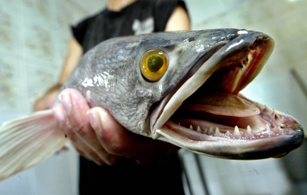 A worker at the Khaiseng Fish Farm displays a snakehead fish which has been harvested and put on its...
