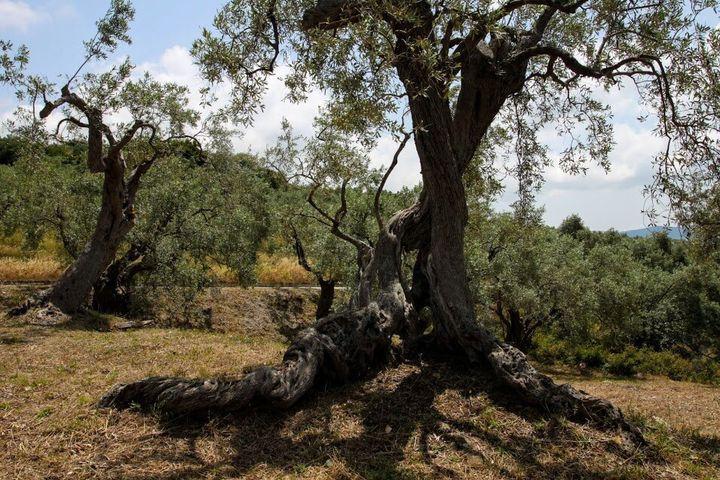 Η γνωριμία του επισκέπτη με την ελιά είναι γνωριμία με την Ελλάδα