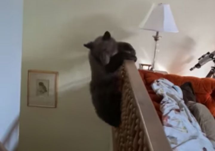 Bear Family Breaks Into Home And Cub Parkours Down The Staircase