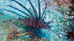 Έρευνα: Καταγραφή της εισβολής «ξενικών» ψαριών από την Ερυθρά Θάλασσα στις ελληνικές