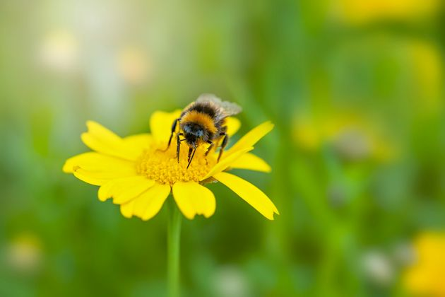 Close-up image of a bee collecting pollen from a yellow Corn Marigold summer wild