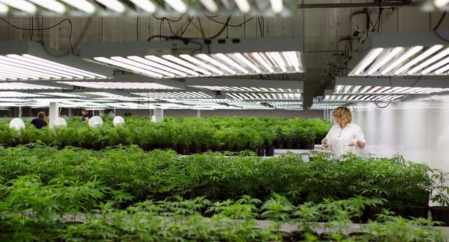 A production assistant grooms marijuana plant clones at Tweed Marijuana in Smiths Falls, Ont., Feb. 20,...
