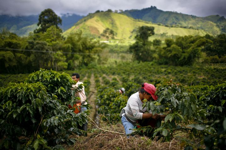 Farmworkers pick Arabica coffee beans in Gigante, Colombia. Many small producers are being forced out of business due to