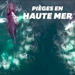 Ces baleines piègent leurs proies avec des bulles et les images sont