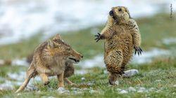 La scena della marmotta spaventata inseguita da una volpe è la foto naturalistica più bella