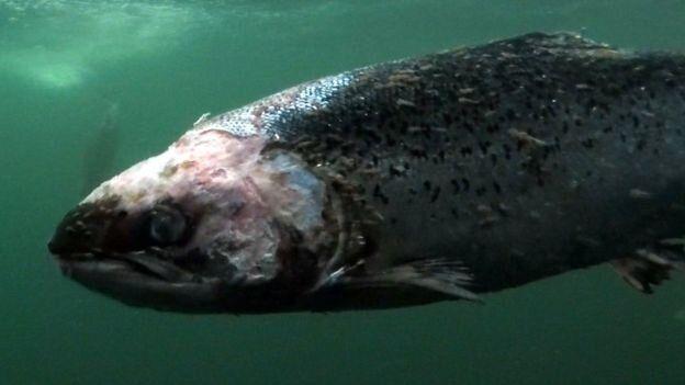 Salmone d'allevamento con i pidocchi. L'immagine è parte di un video girato in un allevamento ittico dal fotografo Corin Smith in Scozia