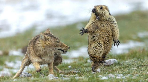올해의 야생 동물 사진 전체 부문 수상작. 중국 치롄 산맥에서 촬영된 여우와 마못의 한 판. 마못은 결국 여우에게 죽임을