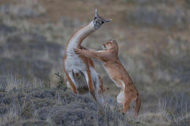 과나코(안데스 산맥의 야생 라마)를 습격하는 퓨마.포유류 공동 행동 부문