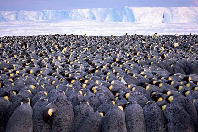 5000마리의 수컷 황제펭귄이 추운 바람 속에서 알을 지켜내기 위해 서로의 몸을 밀착하고 있다.포트폴리오 부문