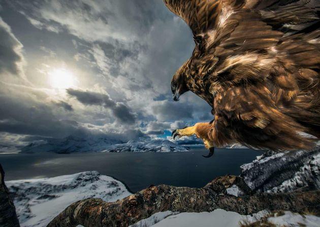 사진가가 오래 된 나뭇가지에 자리를 잡고 검독수리가 날아들기를 기다려 완성한 사진.조류 행동 부문