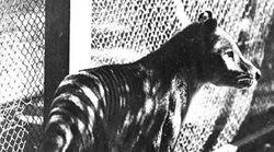 La Tigre della Tasmania forse non è estinta: numerosi avvistamenti in
