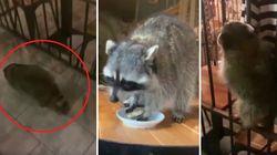 Il cliente che non ti aspetti. Un procione entra (e mangia) in un ristorante a Mosca