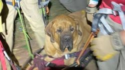 Floyd, A 87kg Dog, Rescued From Hike After Getting Too