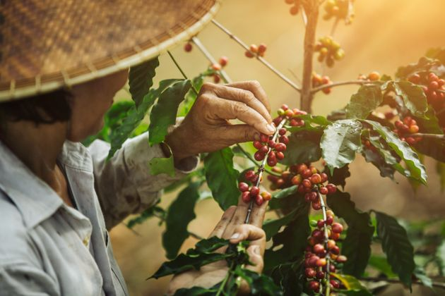 [coffee berries] Close-up arabica coffee berries with agriculturist hands of Vietnamese